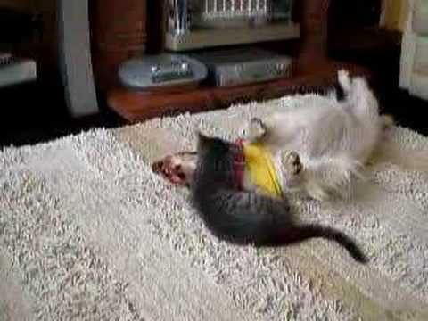English Springer - Kitten Attacking Spaniel Video