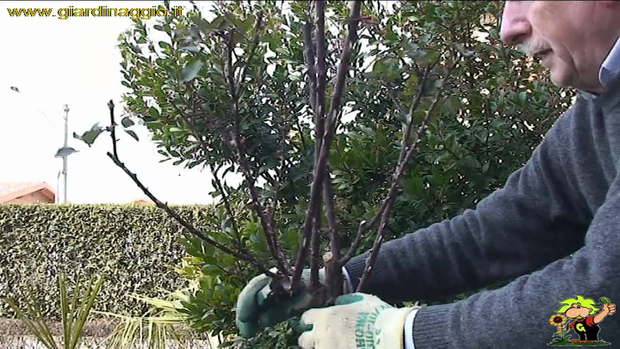 Potatura delle rose youtube for Potatura delle rose