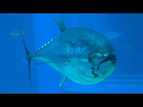 Tuna fish from pacific ocean is radioactive contaminated for Pacific ocean radiation fish