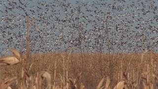 Snow Goose hunting in North Dakota