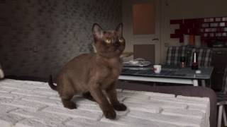 Sable burmese kitten female