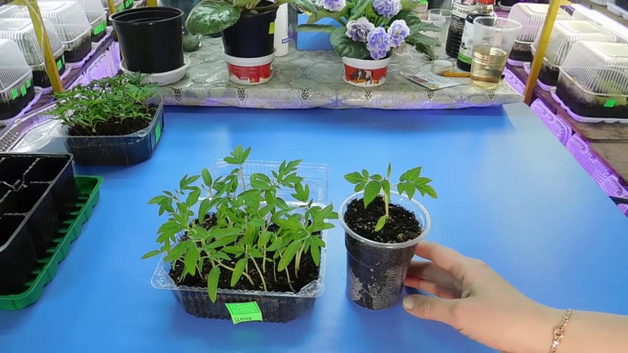 Как пикировать томаты на рассаду 81