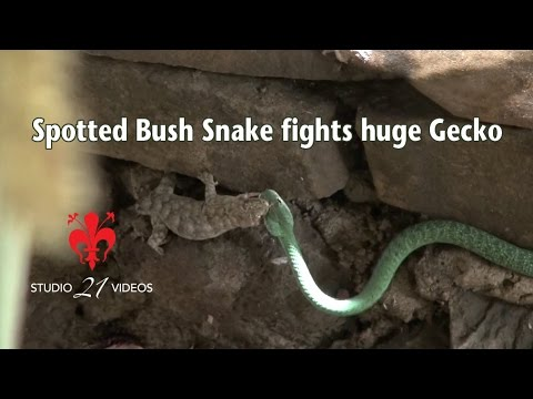 Spotted Bush Snake fights huge Gecko.mov