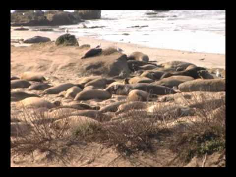 Present! - Elephant Seals at Ano Nuevo State Park