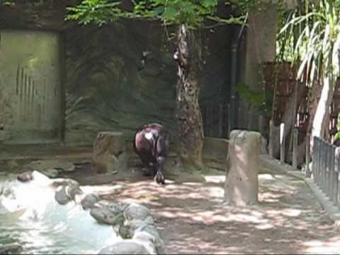 上野動物園コビトカバ赤ちゃん_コユリ本気?のダッシュ(おまけつき)