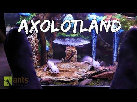 Axolotland - The Cutest Creatures You've Ever Seen