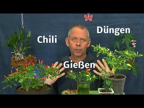 Chili im Haus biologisch Düngen und Gießen