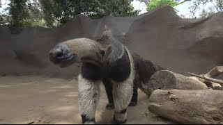 Giant Anteaters: Looks Can Be Deceiving
