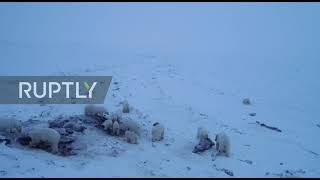 "Russia: Dozens of polar bears descend on village in Russia""s Far East"