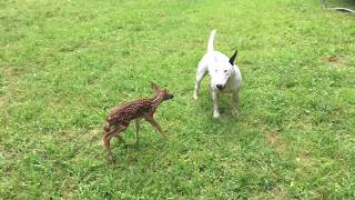 bull terrier target dog finds newborn fawn in our backyard so cute