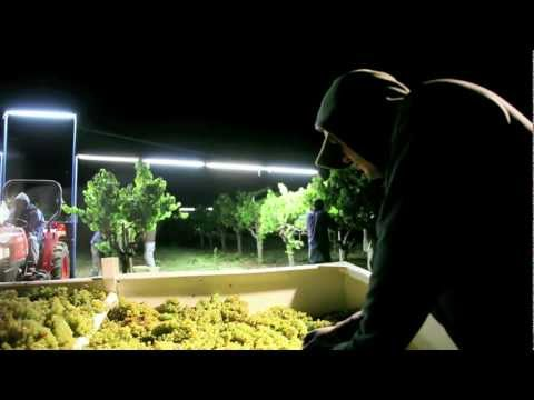 Night harvest, harvesting Jordan Chardonnay wine grapes, Russian River Valley
