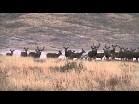 Big Mule Deer Bucks of the Muleshoe National Wildlife Refuge
