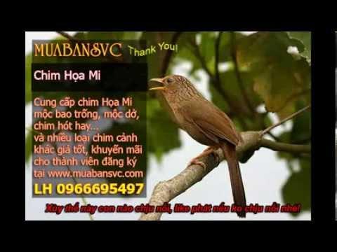 Chim Họa Mi Mái Xùy - Mua bán chim Họa Mi
