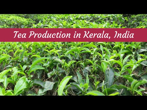How it's Made - Tea Production in Kerala, India