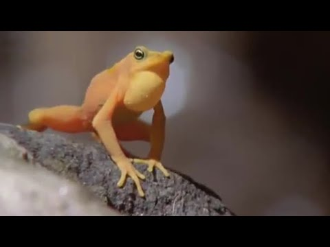 Attenborough: Golden Frog: Fighting & Mating - Life in Cold Blood - BBC wildlife