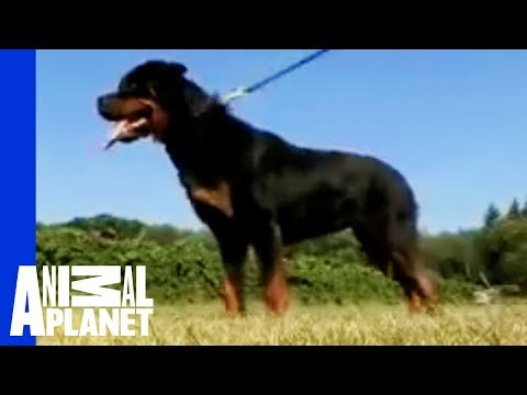 Dogs 101 - Rottweiler
