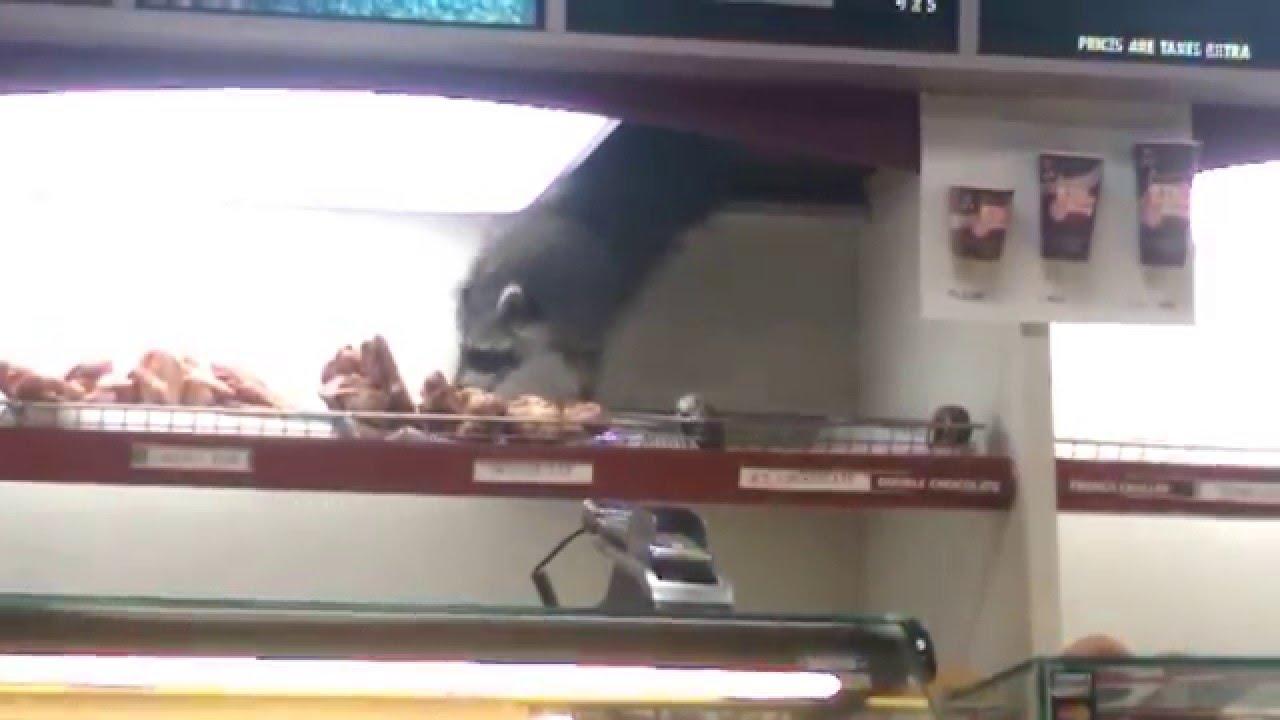 A mennyezetről lógva lopott fánkot a torkos mosómedve - videó
