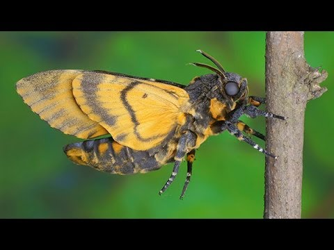 Acherontia atropos - Zmierzchnica trupiagłówka - Totenkopfschwärmer