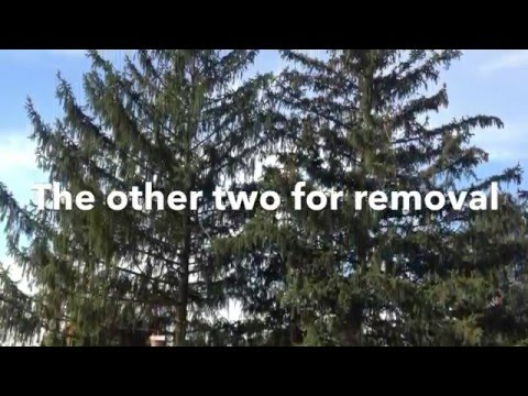 Smith Tree Service doing Pine tree removals in Myerstown PA.                717-866-8883