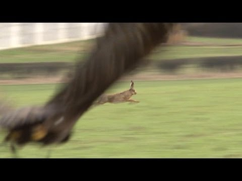 Hunting hares with golden eagles - fantastic flights