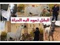 الجواد العربي بشير يعود الى الحياة شرح موجز
