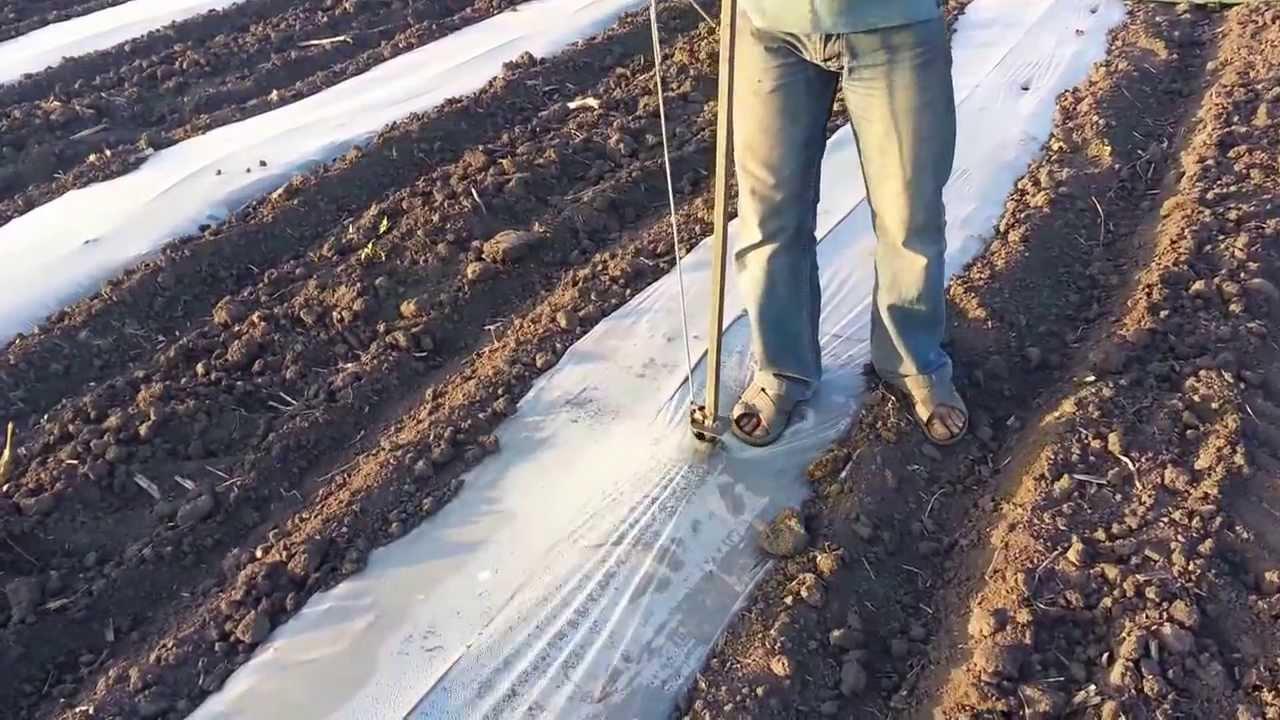 Технология выращивания арбуза в открытом грунте 32