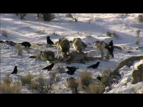 Wolves in Yellowstone National Park - wolf watching