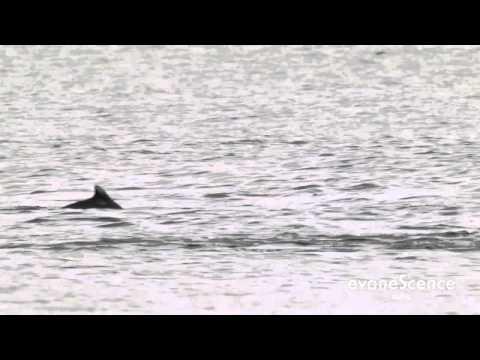 Dolphins in Besant Nagar beach, Chennai