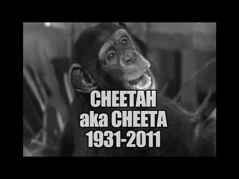 Cheetah the Tarzan Chimp Dead at 80 from Kidney Failure