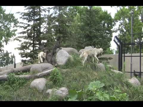 旭山動物園オオカミ家族で遠吠え2011年8月1日撮影