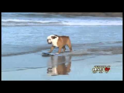 Perro skate bulldog surf