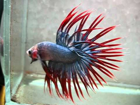 Indonesia Cambodian Crowntail - SOLD