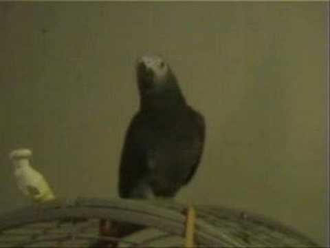 Paka - The Possessed African Grey Parrot Video