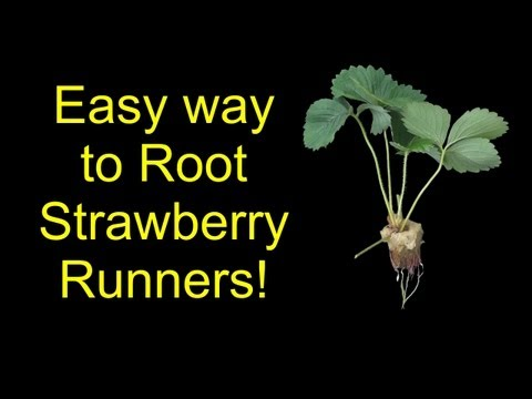 How To Root Strawberries For Hydroponics. Aquaponics. Or Soil - The SleestaksRule Method