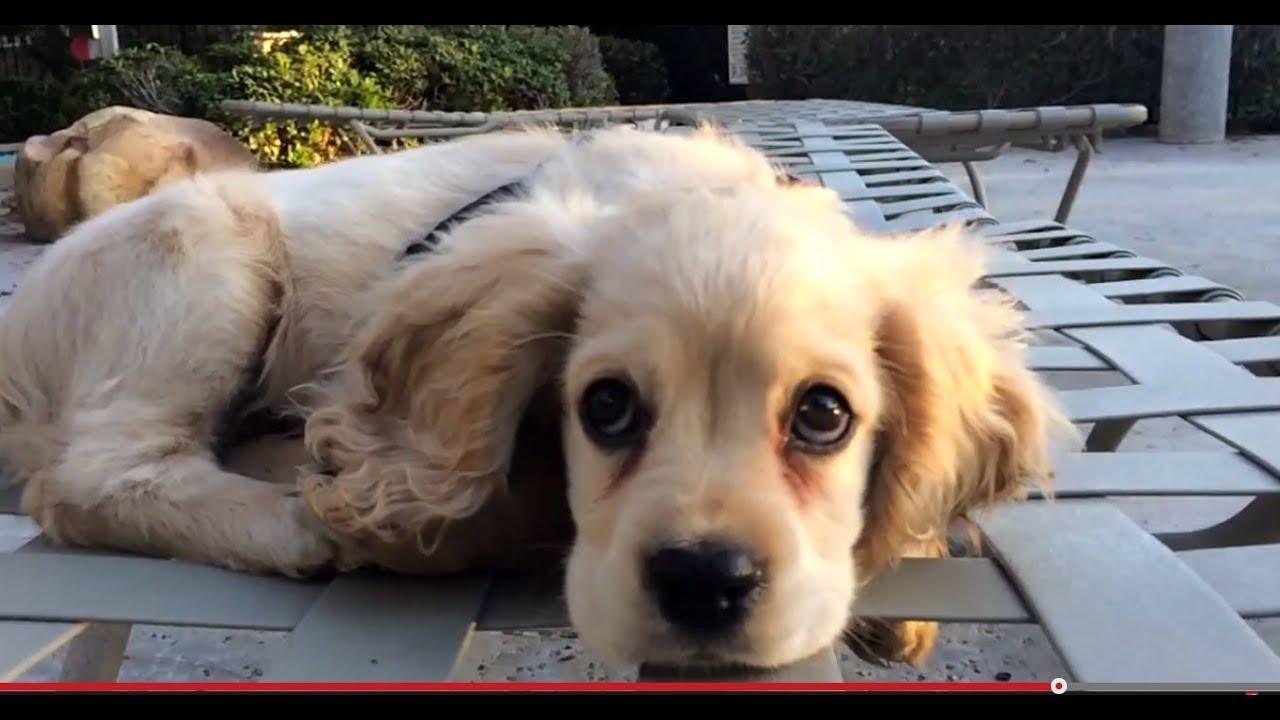 Purebred american cocker spaniel puppy