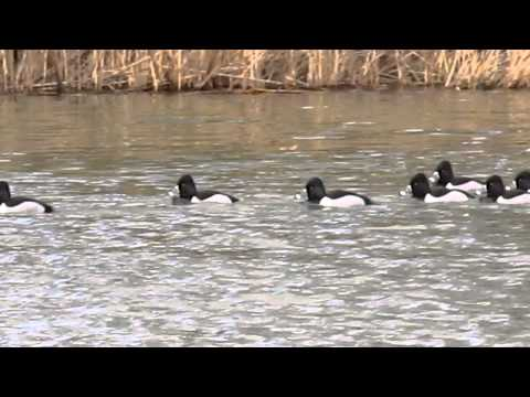 Ring Necked Ducks on Thundergust Lake, New Jersey