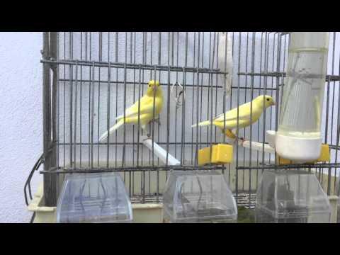 Canarios Malinois Waterslager thumbnail