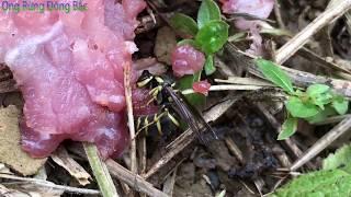 Loài ong bò vẽ khó tìm nhất.(sống nhờ rừng núi1)