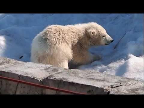 雪上で元気に遊ぶ、ホッキョクグマ「ララ」の赤ちゃん