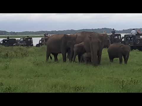 Elefanten im Kaudulla Nationalpark 1