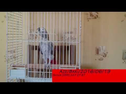 Попугай жако говорит