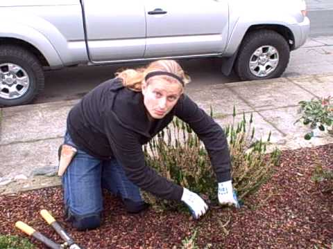 How to Prune a Scotch Heather from NCG.AVI
