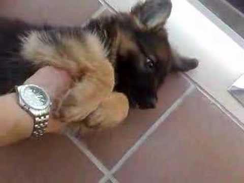 Cachorro de Pastor Aleman