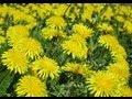 El Diente de león ; una planta milagrosa con multiples propiedades y beneficios para la salud.