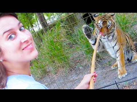 FEEDING HUGE TIGERS!!