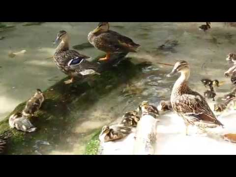 Dak Baby Ducks 2 video