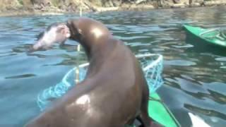 Sea Lion Attacks Kayaker