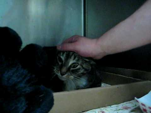 Tiger, 10 year-old declawed female cat