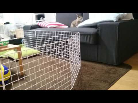 監視カメラは見た!飼い主がいなくなるとすぐにダメだと言われているソファーに上がって楽しむウサギ。