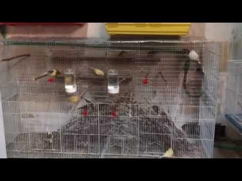 Kanarinia kai karderines klouva ptisis